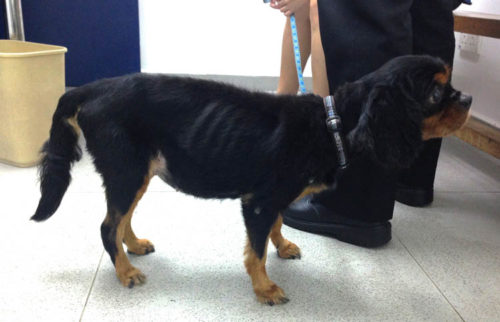 Асцит у собаки чёрного окраса