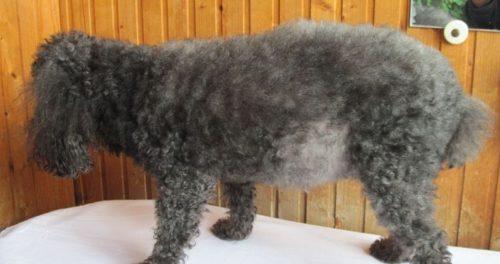 Асцит у собаки с кудрявой шерстью