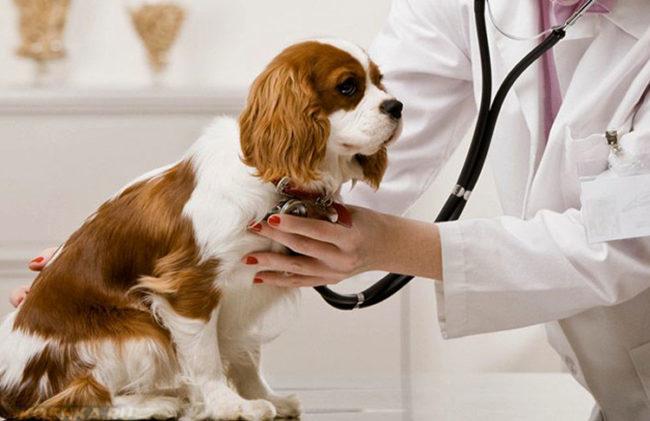 Прослушивание собаки в ветеринарной клинике