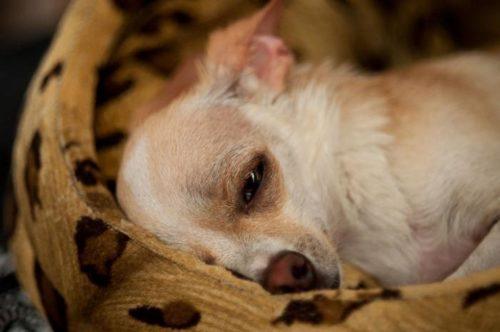 Авитаминоз и слабость у собаки