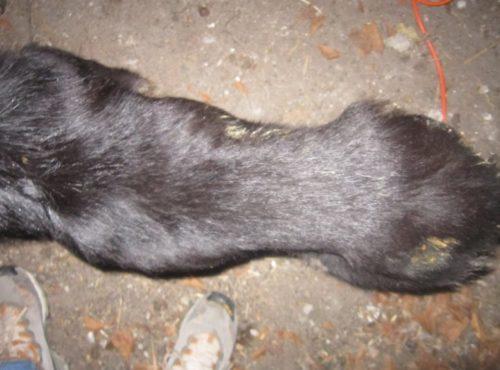 Авитаминоз в виде тусклой шерсти у собаки