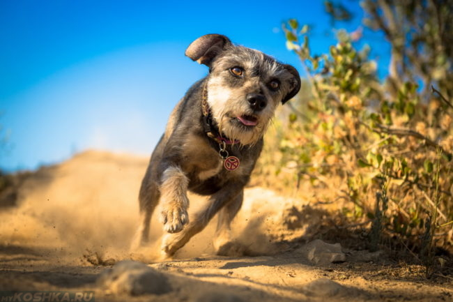 Бегущая по песку собака в ошейнике