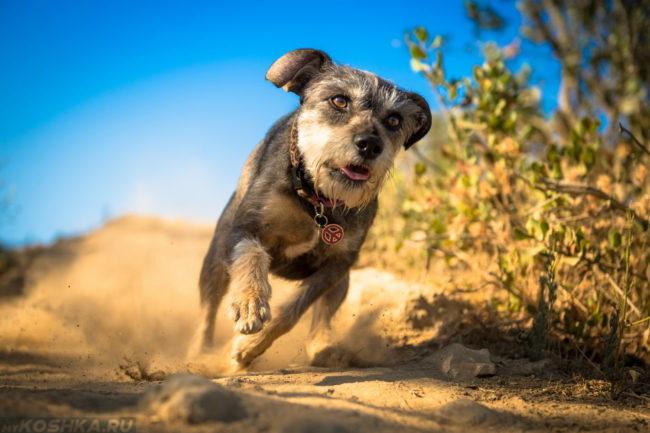 Бегущая собака по пыльной дороге