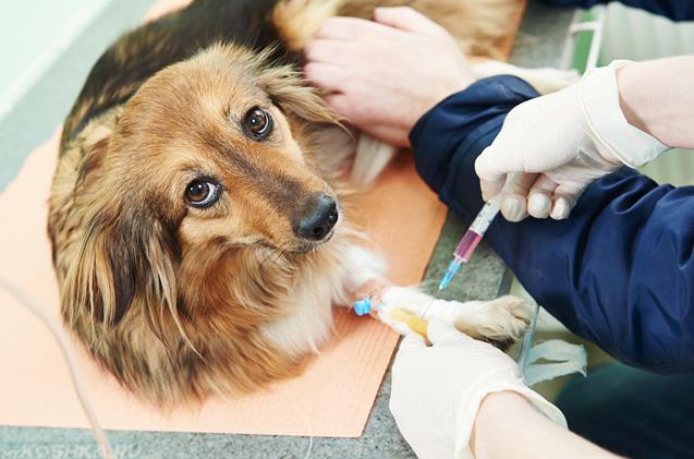 Ветеринарный врч берёт кровь на анализ у собаки