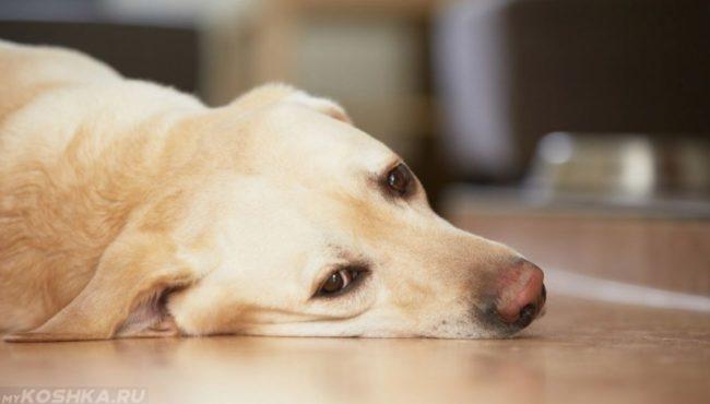 Собака светлого окраса лежащая на полу