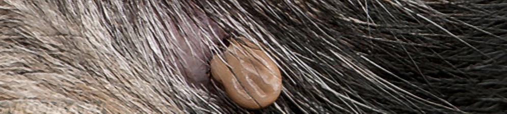 Боррелиоз у собаки на теле