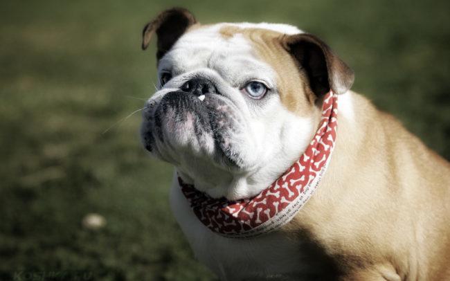 Собака породы бульдог с красным ошейником