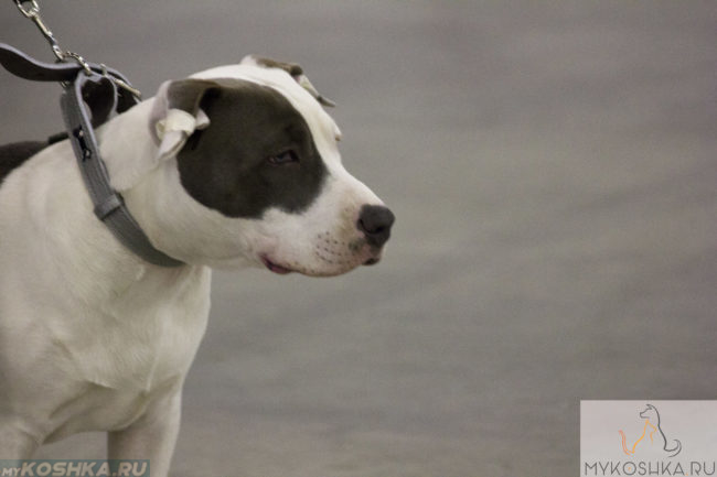 Собака породы бульдог на поводке