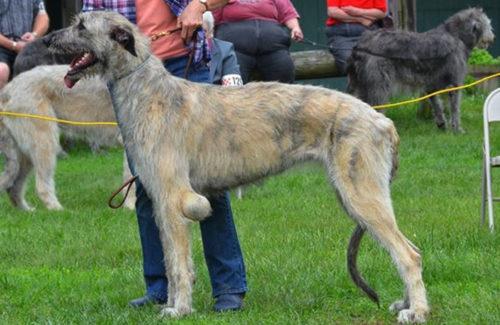 Бурсит локтевого сустава у собаки стоящей на траве