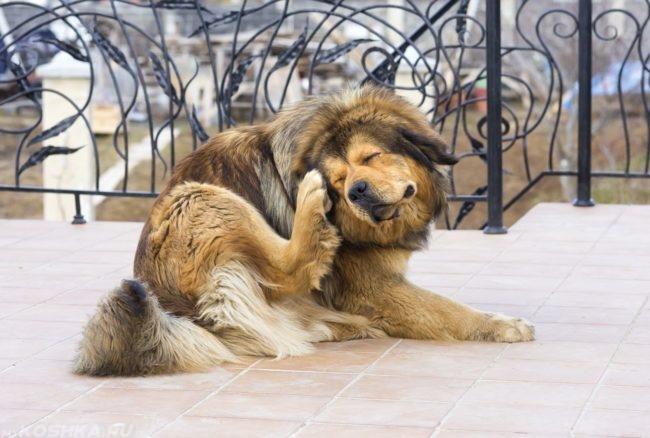 Собака поднявшая заднюю лапу к уху
