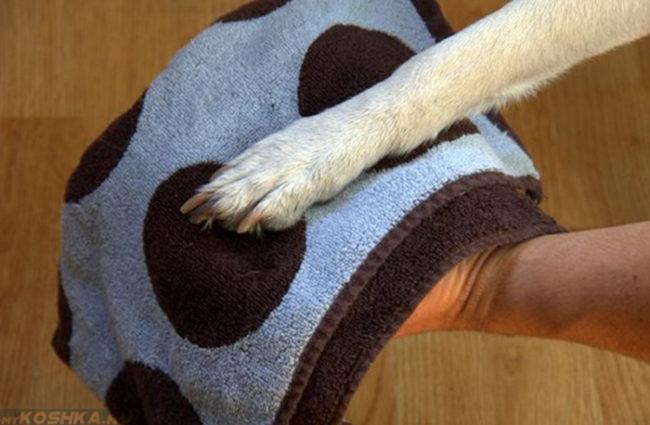 Чистая лапа собаки на полотенце