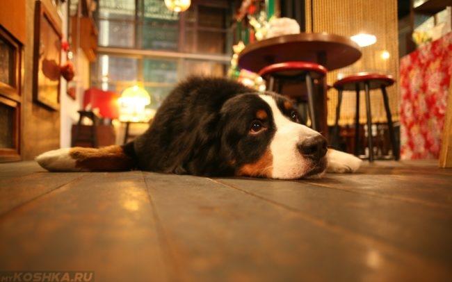 Собака дома лежащая на полу