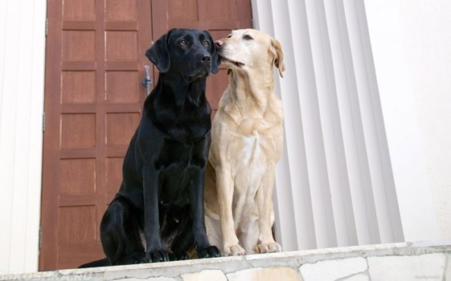 Две собаки разного окраса на крыльце дома