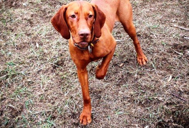 Собака поднявшая переднюю лапу
