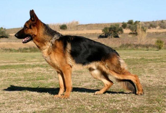 Хромающая собака на поле