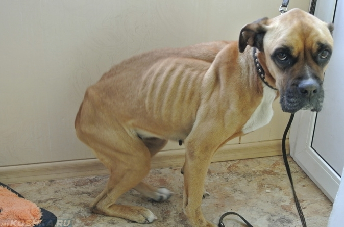Собака Сильно Похудела Много Ест. Что делать, если ваша собака худеет: признаки, причины и меры