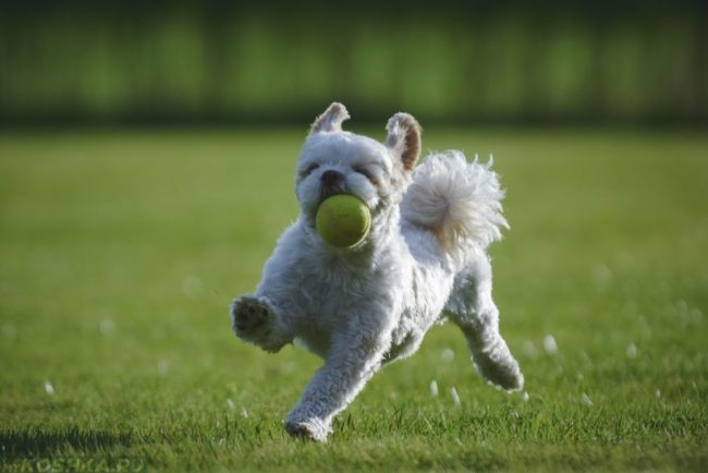 Играющая с мячиком собака