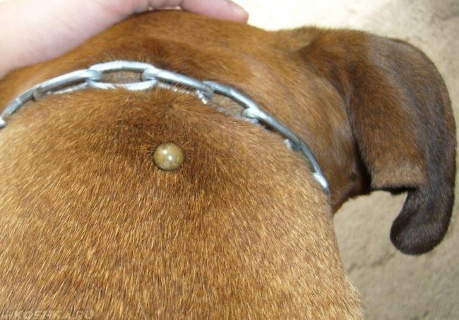 Клещ на собаке коричневого окраса