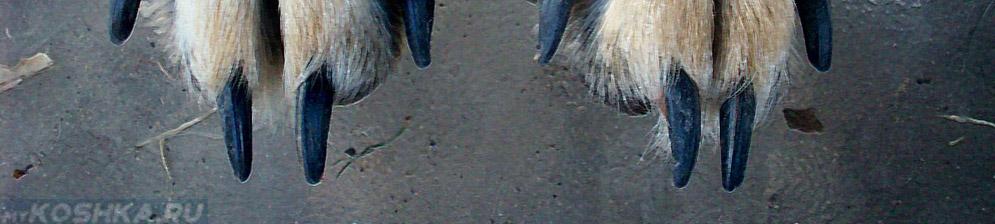 Не стриженные когти у собаки