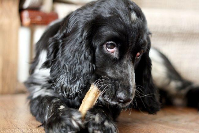 Собака грызущая кость на полу
