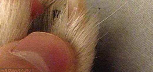 Сгусток крови в ногте у собаки