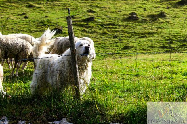 Собака крупной породы у забора овчарка