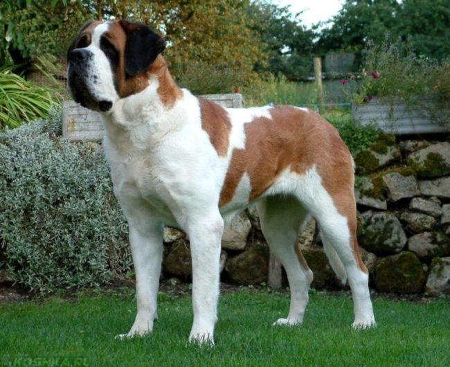 Крупная собака на зелёной траве