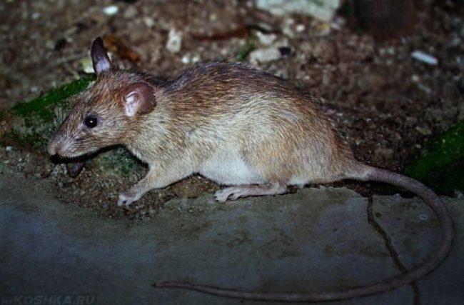 Серая крыса с длинным хвостом