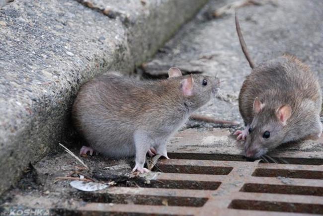 Две серые крысы на асфальте