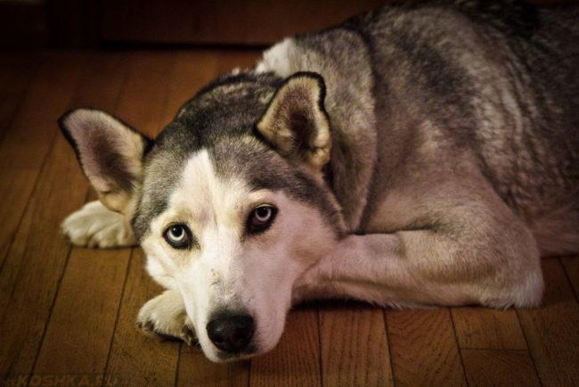 Собака породы хаски лежащая на полу