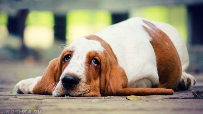 Собака с длинными ушами лежащая на полу