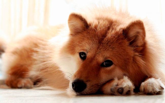 Лежащая в покое собака на полу