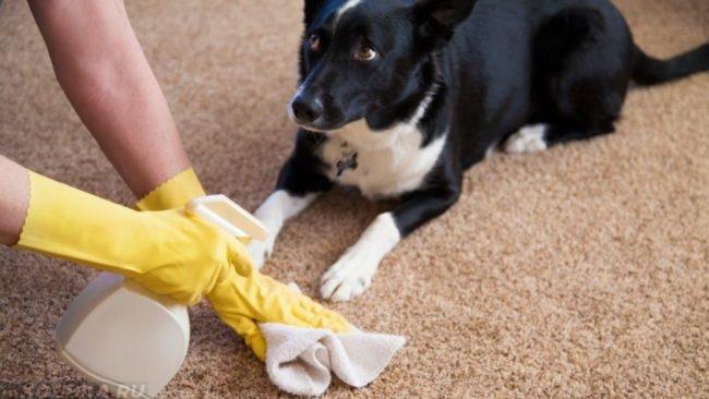 Собака лежащая на полу и чистка ковра