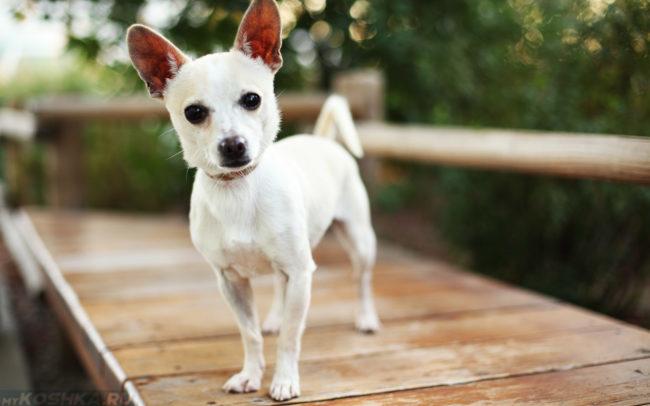 Маленькая собака белого цвета