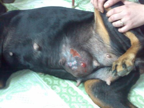 Мастопатия у собаки в приближенном виде