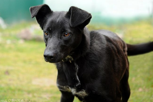 Молодая собака чёрного окраса