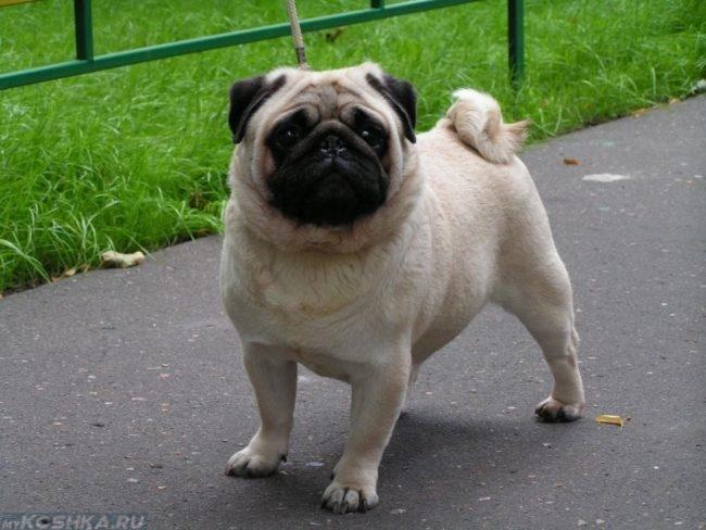 Собака породы мопс на прогулке