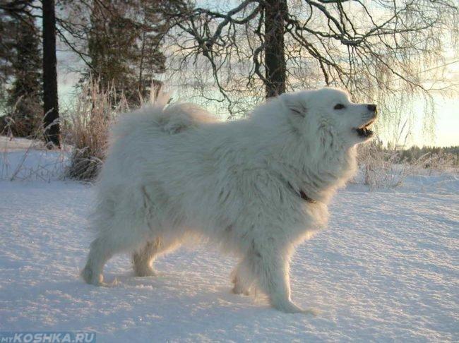 Белая пушистая собака на морозе