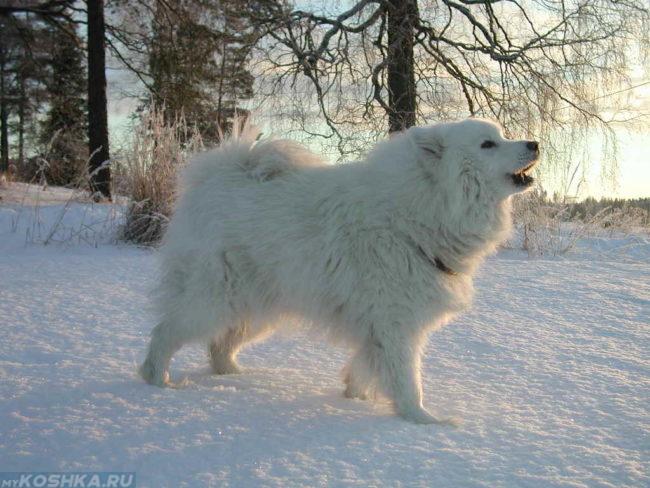 Белая пушистая собака на снегу