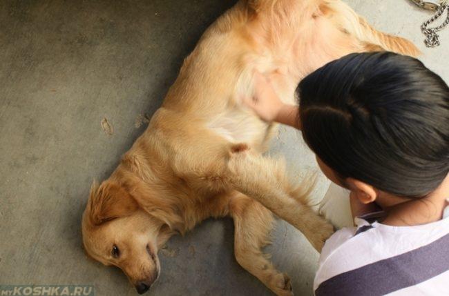 Собака лежащая на боку и хозяин