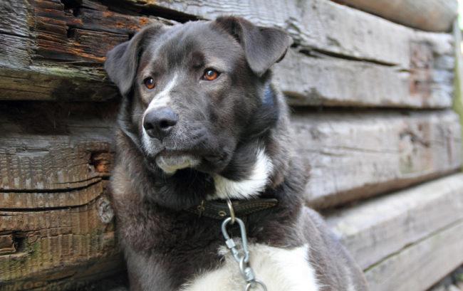 Собака сидящая на цепи у дома