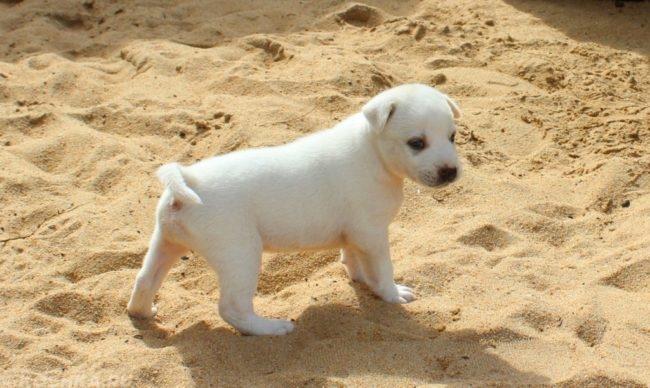 Щенок гуляющий по песку