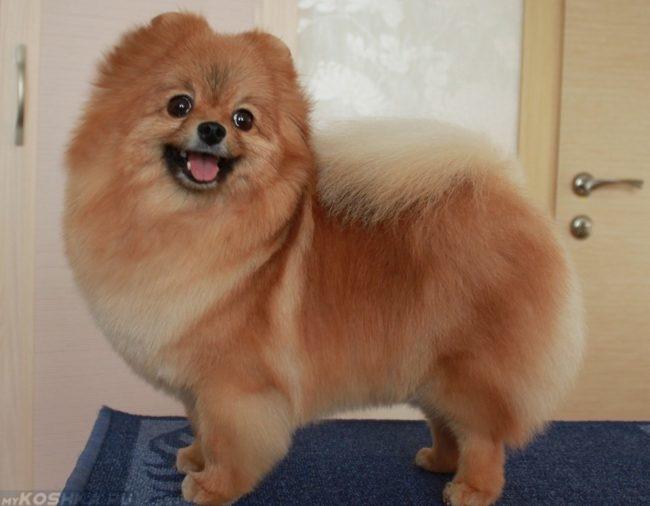 Собака на столе породы карликовый шпиц