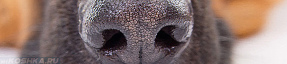 Насморк у собаки нос вблизи сухой