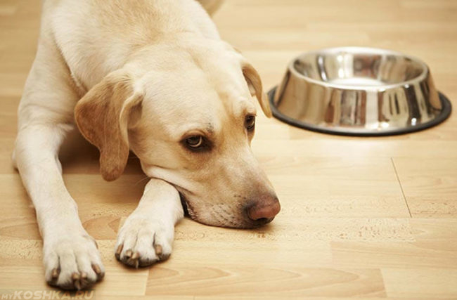 Собака лежащая на полу рядом с миской