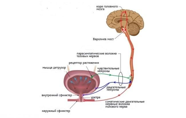 Нервная регуляция мочеиспускания на схеме
