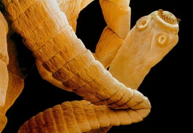 Огуречный цепень под микроскопом