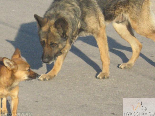 Пожилая собака крупной породы
