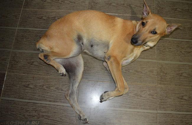 Паралич лап у собаки лежащей на боку