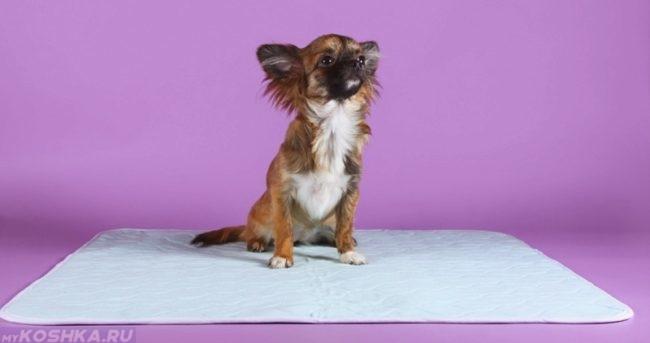Собака мелкой породы на пелёнке